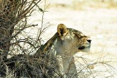 Μια λιονταρίνα δροσίζει κάτω στη σκιά, διασυνοριακό εθνικό πάρκο Kgalagadi, Νότια Αφρική Στοκ εικόνες με δικαίωμα ελεύθερης χρήσης