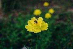 Μια μέλισσα βρίσκει το μελίτωμα στη γύρη του λουλουδιού, την κινηματογράφηση σε πρώτο πλάνο του κόσμου και το κίτρινο λουλούδι st Στοκ εικόνες με δικαίωμα ελεύθερης χρήσης