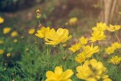 Μια μέλισσα βρίσκει το μελίτωμα στη γύρη του λουλουδιού, την κινηματογράφηση σε πρώτο πλάνο του κόσμου και το κίτρινο λουλούδι st Στοκ Εικόνες
