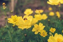 Μια μέλισσα βρίσκει το μελίτωμα στη γύρη του λουλουδιού, την κινηματογράφηση σε πρώτο πλάνο του κόσμου και το κίτρινο λουλούδι st Στοκ εικόνα με δικαίωμα ελεύθερης χρήσης