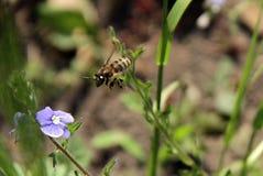 Μια μέλισσα που πετά πέρα από τα μπλε λουλούδια Στοκ Φωτογραφία