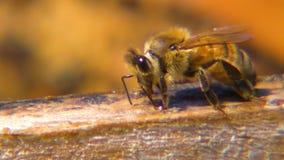 Μια μέλισσα που συλλέγει το σφρίγος φιλμ μικρού μήκους