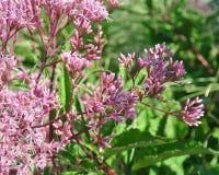 Μια μέλισσα σε ένα ρόδινο λουλούδι το καλοκαίρι στοκ εικόνες με δικαίωμα ελεύθερης χρήσης