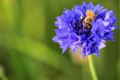Μια μέλισσα στο ιώδες λουλούδι ίριδων στην εστίαση στοκ εικόνες