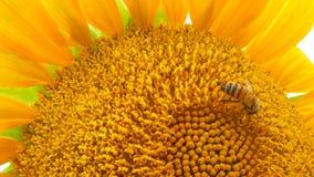 Μια μέλισσα συλλέγει το μέλι σε έναν ηλίανθο απόθεμα βίντεο