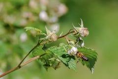 Μια μέλισσα συλλέγει το νέκταρ από τα λουλούδια του σμέουρου Στοκ Εικόνες