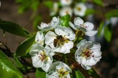 Μια μέλισσα συλλέγει το νέκταρ σε ένα ανθίζοντας δέντρο στοκ εικόνα με δικαίωμα ελεύθερης χρήσης