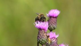 Μια μέλισσα συλλέγει το νέκταρ σε ένα ιώδες λουλούδι απόθεμα βίντεο