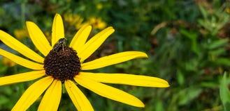 Μια μέλισσα κάθεται στη μαύρη eyed Susan στην πλήρη άνθιση Στοκ Φωτογραφία
