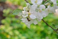 Μια μέλισσα κάθεται στον κλάδο δέντρων της Apple με τα άσπρα λουλούδια Στοκ Εικόνες