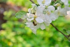 Μια μέλισσα κάθεται στον κλάδο δέντρων της Apple με τα άσπρα λουλούδια Στοκ Εικόνα