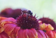 Μια μέλισσα μελιού σε ένα γενικό λουλούδι Στοκ φωτογραφίες με δικαίωμα ελεύθερης χρήσης