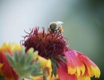 Μια μέλισσα μελιού σε ένα γενικό λουλούδι Στοκ Φωτογραφίες