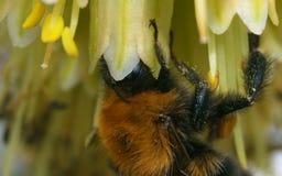 Μια μέλισσα σε ένα κίτρινο λουλούδι Στοκ Εικόνες