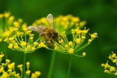 Μια μέλισσα σε ένα λουλούδι Στοκ Φωτογραφίες