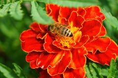 Μια μέλισσα σε ένα λουλούδι Στοκ Εικόνα