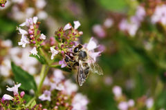 Μια μέλισσα σε ένα λουλούδι Στοκ Φωτογραφία