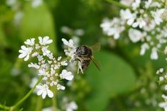 Μια μέλισσα σε ένα λουλούδι Στοκ εικόνα με δικαίωμα ελεύθερης χρήσης