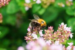 Μια μέλισσα σε ένα λουλούδι Στοκ φωτογραφίες με δικαίωμα ελεύθερης χρήσης