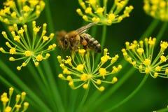 Μια μέλισσα σε ένα λουλούδι Στοκ εικόνες με δικαίωμα ελεύθερης χρήσης