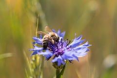 Μια μέλισσα σε ένα cornflower Στοκ φωτογραφία με δικαίωμα ελεύθερης χρήσης