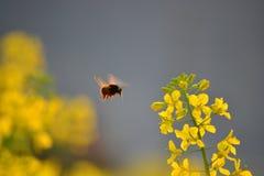 Μια μέλισσα σε WuYuan Στοκ εικόνα με δικαίωμα ελεύθερης χρήσης