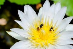 Μια μέλισσα στο λευκό waterlilly Στοκ Εικόνες
