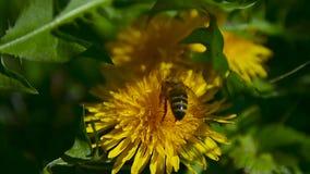 Μια μέλισσα συλλέγει το νέκταρ στην πικραλίδα στον κήπο 1 απόθεμα βίντεο