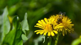 Μια μέλισσα συλλέγει το νέκταρ στην πικραλίδα στον κήπο 4 απόθεμα βίντεο