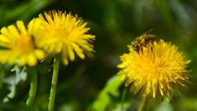 Μια μέλισσα συλλέγει το νέκταρ στην πικραλίδα στον κήπο 3 απόθεμα βίντεο
