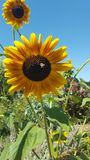 Μια μέλισσα Bumble επικονιάζει τους τομείς ηλίανθων Στοκ εικόνα με δικαίωμα ελεύθερης χρήσης