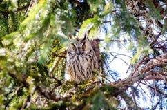 Μια μακρύς-έχουσα νώτα κουκουβάγια εσκαρφάλωσε σε μια πλάγια όψη δέντρων Στοκ Εικόνες