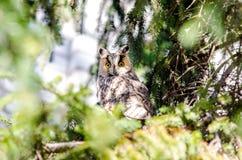 Μια μακρύς-έχουσα νώτα κουκουβάγια εσκαρφάλωσε σε μια πλάγια όψη δέντρων Στοκ Φωτογραφίες