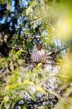 Μια μακρύς-έχουσα νώτα κουκουβάγια εσκαρφάλωσε σε μια πλάγια όψη δέντρων Στοκ Εικόνα