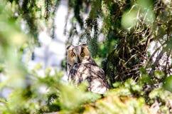 Μια μακρύς-έχουσα νώτα κουκουβάγια εσκαρφάλωσε σε μια πλάγια όψη δέντρων Στοκ εικόνα με δικαίωμα ελεύθερης χρήσης