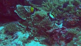 Μια μαυριτανικών εκτροφή ψαρηών ειδώλων και δύο αγγέλου απόθεμα βίντεο