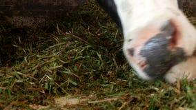 Μια μαύρη αγελάδα με τα άσπρα σημεία στέκεται στη σιταποθήκη και τρώει το σωρό χλόης, την κινηματογράφηση σε πρώτο πλάνο, το ρύγχ απόθεμα βίντεο
