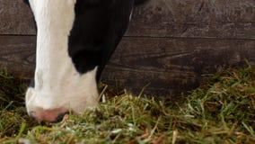 Μια μαύρη αγελάδα με τα άσπρα σημεία στέκεται στη σιταποθήκη και τρώει το σωρό χλόης, την κινηματογράφηση σε πρώτο πλάνο, το ρύγχ φιλμ μικρού μήκους