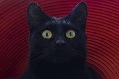 Μια μαύρη γάτα με τα στρογγυλά κίτρινα μάτια ανατρέχει Κόκκινη ανασκόπηση στοκ φωτογραφίες με δικαίωμα ελεύθερης χρήσης