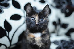 Μια μαύρη γάτα με τον μπεζ λεκέ Στοκ Φωτογραφία
