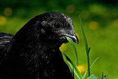 Μια μαύρη παραλλαγή μιας κότας της φυλής Hedemora Το κεφάλι στην κινηματογράφηση σε πρώτο πλάνο στοκ φωτογραφία