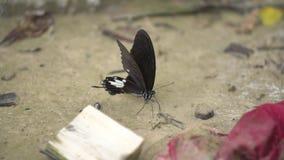 Μια μαύρη πεταλούδα ξεραίνει τα φτερά της πριν από να τραπεί σε φυγή από έναν βράχο κατά μέρος ένα ρεύμα φιλμ μικρού μήκους