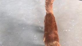 Μια μεγάλη κόκκινος-γάτα του Μαίην Coon κοιτάζει και περπατά προς τη κάμερα απόθεμα βίντεο