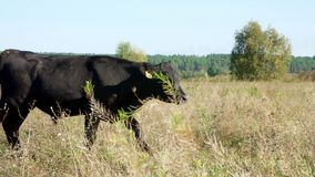Μια μεγάλη μαύρη αγελάδα περπατά πέρα από τον τομέα, και περιπάτους τους μικρούς μόσχων πίσω από το Βοσκή βοοειδών στον τομέα Παρ φιλμ μικρού μήκους