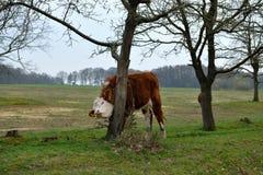 Μια μεγάλη νέα αγελάδα τρίβει το λαιμό και το σαγόνι της στο δέντρο στοκ εικόνες με δικαίωμα ελεύθερης χρήσης