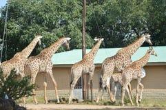 Μια μεγάλη οικογένεια Giraffe στο πάρκο Marloth που περπατά στις οδούς γύρω από τα σπίτια στοκ εικόνα