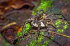 Μια μεγάλη αράχνη που φέρνει κάτω από την μια άσπρη τσάντα των αυγών, μέσα του δάσους στο εθνικό πάρκο Cuyabeno, στον Ισημερινό Στοκ εικόνες με δικαίωμα ελεύθερης χρήσης