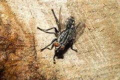 Μια μεγάλη μαύρη μύγα, με τα κόκκινα μάτια Μακροεντολή Στοκ φωτογραφία με δικαίωμα ελεύθερης χρήσης