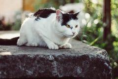 Μια μεγάλη πανέμορφη γραπτή γάτα Στοκ Φωτογραφίες