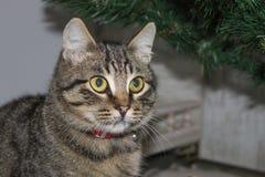 Μια μεγάλη ριγωτή γάτα Στοκ εικόνες με δικαίωμα ελεύθερης χρήσης